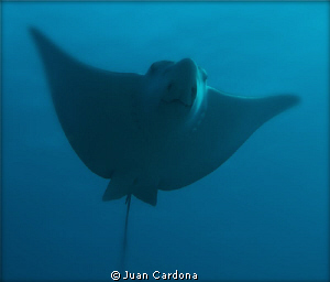 Eagle ray....nice nose by Juan Cardona 